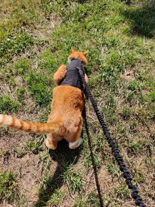 Rocky outside on harness
